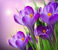 Image of crocuses